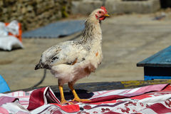 Chicken on the Table, Nepal Royalty Free Stock Photo