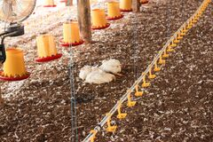 Free Chicken That Died On A Chicken Farm Royalty Free Stock Photo - 177076635