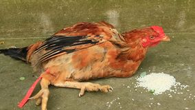 Chicken tied stock footage