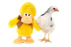 Chicken and toy duck Royalty Free Stock Photos