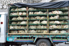 Chicken transport Royalty Free Stock Image