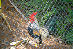 Chicken trapped in a cage at the zoo Stock Photo