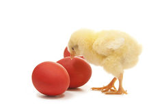 Chicken with tree easter egg. Chicken with red  easter eggs Royalty Free Stock Photography
