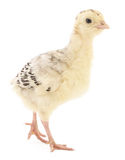 Chicken turkey Royalty Free Stock Images