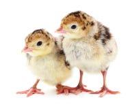 Chicken a turkeys. Chicken turkeys  on a white background Stock Photography