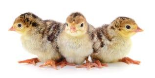 Chicken turkeys on white. Royalty Free Stock Image