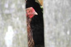 Chicken viewed peeking through gap in fencing. Stock Photo