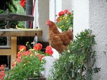 Chicken in village yard Stock Photo