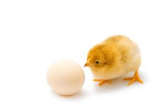 Chicken waiting for his brother to hatch. One day old curious baby chicken looking on the egg and waiting for his brother to born Royalty Free Stock Photography