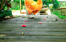 Chicken walking across wooden boardwalk. With flower pedals on the ground Stock Image