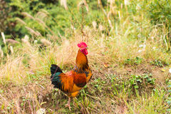 Chicken. Walking in the farm Royalty Free Stock Image