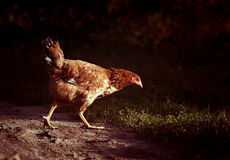 Chicken walking Royalty Free Stock Photography