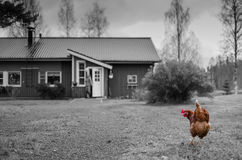 Chicken. Walking at the lawn, late fall, october. In Finland Royalty Free Stock Photos