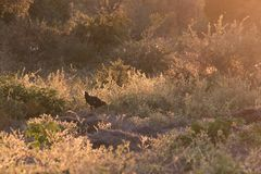 A chicken wanders freely amidst backlit shrubs in rural Botswana stock photos