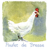 Chicken, watercolor illustration Stock Images
