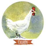 Chicken, watercolor illustration Stock Image