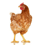 Chicken on white background,  object, one closeup animal Royalty Free Stock Image