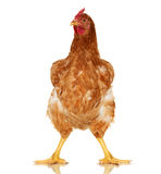 Chicken on white background,  object, one closeup animal Royalty Free Stock Photo
