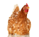 Chicken on white background,  object, one closeup animal Stock Photo