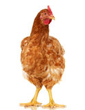 Chicken on white background,  object, one closeup animal Royalty Free Stock Images