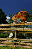 Chicken on Wicker Fence Looking at Flower stock image