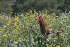 Chicken in wildflowers Stock Photo