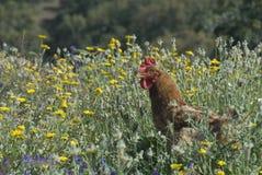 Chicken in wildflowers Stock Photo