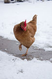 Chicken in winter Royalty Free Stock Image