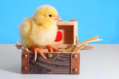 Chicken in the wooden gift box Royalty Free Stock Image