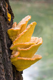 Chicken of the Woods Royalty Free Stock Photos