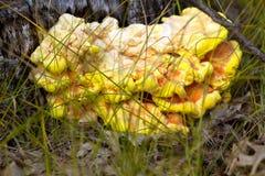 Chicken of the Woods or Sulfur Shelf fungus. In Necedah National Wildlife Refuge in Wisconsin stock images