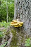 Chicken of the woods Royalty Free Stock Photo