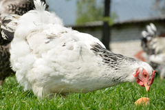 Chicken in the yard. Stock Images