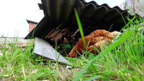 2 chicken in the yard looking for edible seed in the grass stock video