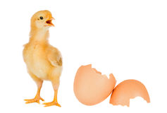 Chicken yellow with broken eggshells Royalty Free Stock Images