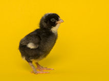 Chicken in yellow Stock Images