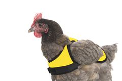 Chicken with yellow vest stock images