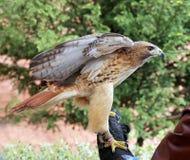 Chickenhawk americano appollaiato sulla mano gloved fotografie stock