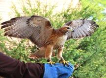 chickenhawk Rosso-munito sulla mano gloved immagine stock libera da diritti