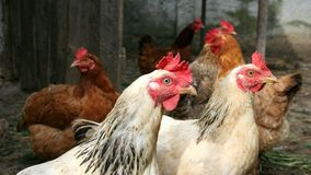 Chickens Stock Photography