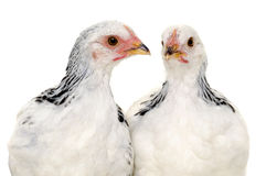 Chickens. Is standing and looking. Isolated on a white background Royalty Free Stock Photography