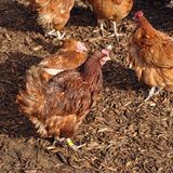 Chickens. Farm yard free range Chickens royalty free stock photography