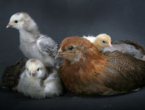 Chickens. Baby Chickens Royalty Free Stock Photo