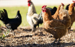 Free Chickens Royalty Free Stock Photography - 36108497