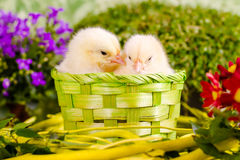 Chickens. Beautiful little chicken with flowers Stock Photography