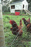 Chickens. A few fenced-in chickens near their coop Stock Photos