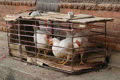 Chickens. In a box Royalty Free Stock Photos
