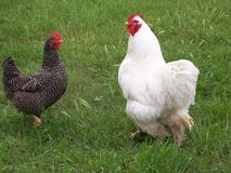 Free Chickens Royalty Free Stock Photos - 99878