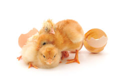 Chickens And An Eggs Shells Royalty Free Stock Image