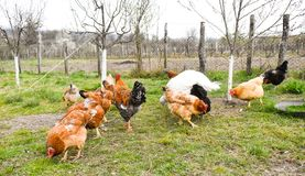 Chickens in the backyard eating corn grains and grass royalty free stock photos